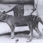 Tassie Tiger v2 Take 2