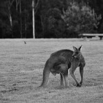 Eastern Grey Kangaroo at Cardinia Reservoir (Black & White)